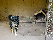 A dog steps out of his enclosure at the Soy Callejerito shelter in Cuzco, Peru.