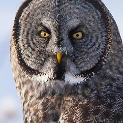 Portrait of a great gray owl in Alaska.