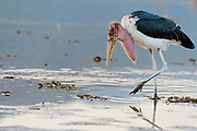 Marabou stork at the shore of Lake Bogoria, Kenya.