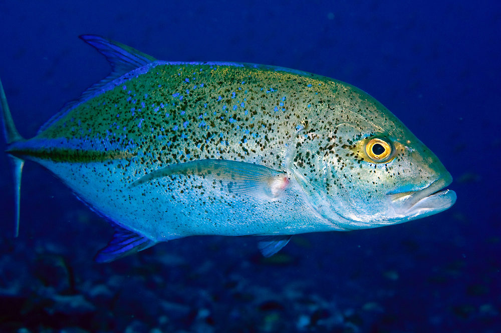 Bluefin Trevally (Caranx melampygus) photographed in Komodo National Park, Indonesia