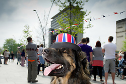 Plymouth, UK  29/04/2011. The Royal Wedding of HRH Prince William to Kate Middleton. A dog gets into the wedding spirit wearing a Union Jack hat in Plymouth. Photo credit should read London News Pictures. Please see special instructions. © under license to London News Pictures