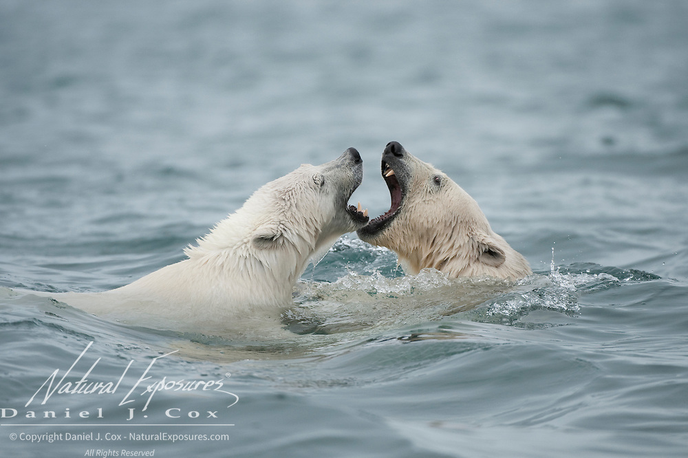 A mother polar bear and her cub playing in the water around Svalbard, Norway.