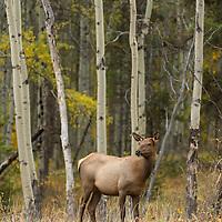 elk calf in aspens