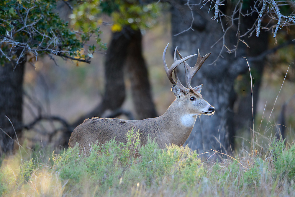 White-tailed Buck (Odocoileus virginianus), Southern Great Plains, USA