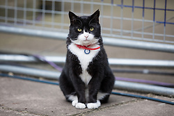 June 8, 2017 - London, London - London, UK. PALMERSTON, the cat belonging to the Foreign and Commonwealth Office, on Downing Street as Britain heads to the polls to elect a new Prime Minister in the 2017 General Election. (Credit Image: © Rob Pinney/London News Pictures via ZUMA Wire)