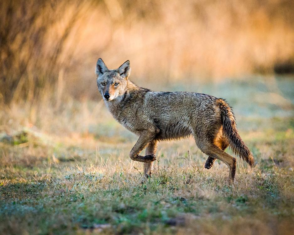 Coyote, Canis latrans<br /> Photographer:  David Satterwhite <br /> Property:  Vidauri Ranch / J.F. Welder Heirs<br /> Refugio County