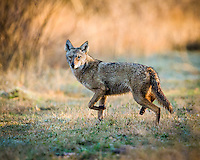 Coyote, Canis latrans<br />