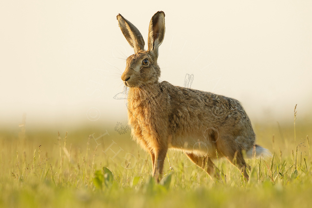 European Hare (Lepus europaeus) adult at rest in field margin, South Norfolk, UK. June.
