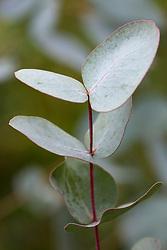 Eucalyptus rubida - juvenile leaves