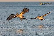 Pair of brown pelicans in flight along Sanibel Island in Florida, USA