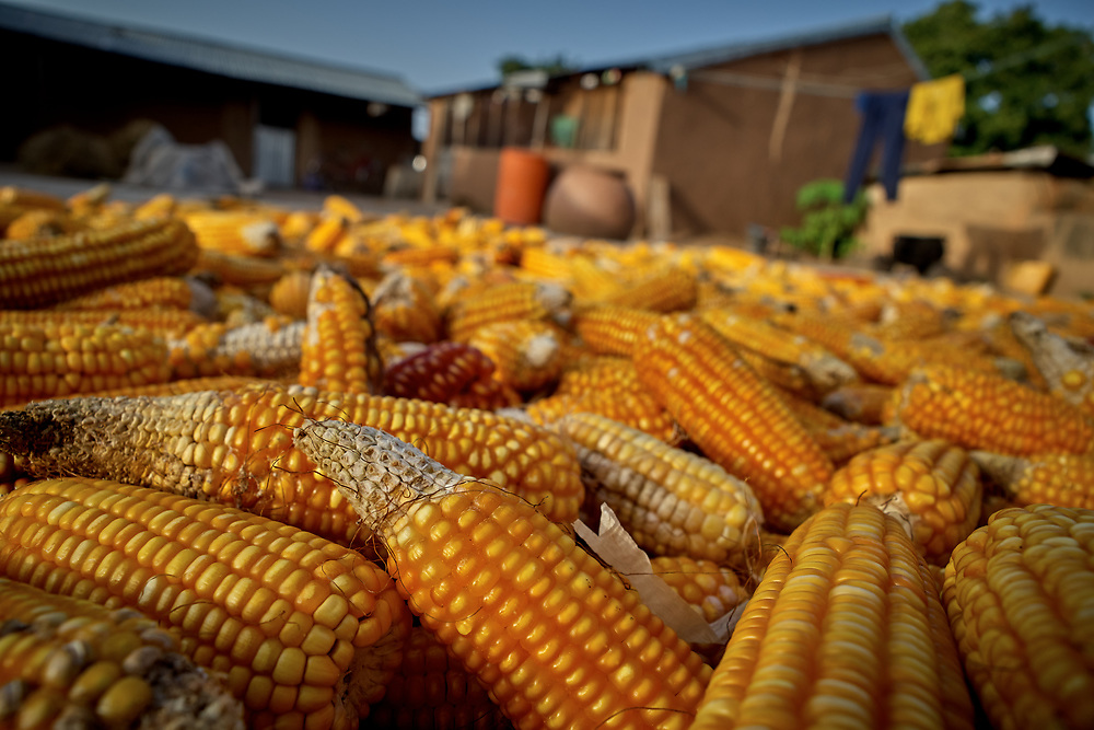25/10/2019 Kpatia, Ghana: <br /> <br /> Yellow corn harvested from the farms of the Musa's is dried openly on their compound.<br /> <br /> For the past five years, Oxfam has been absent in Kpatia and Tambalug (2 communities in Garu Tempane District of the Upper East Region of Ghana).  This project is a visual documentary study on the impact of climate change on these farming communities, in the absence of fresh aid.