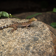 Phetchaburi Bent-toed Gecko (Cyrtodactylus phetchaburiensis) subadult in Thayang district, Phetchaburi, Thailand