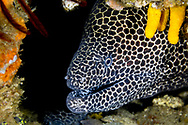 Laced moray-Murène léopard (Gymnothorax favagineus), indian ocean, South Africa.