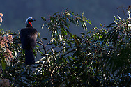 A black-fronted piping guan (Pipile jacutinga) on a tree at the Iguazu Falls, Brazil