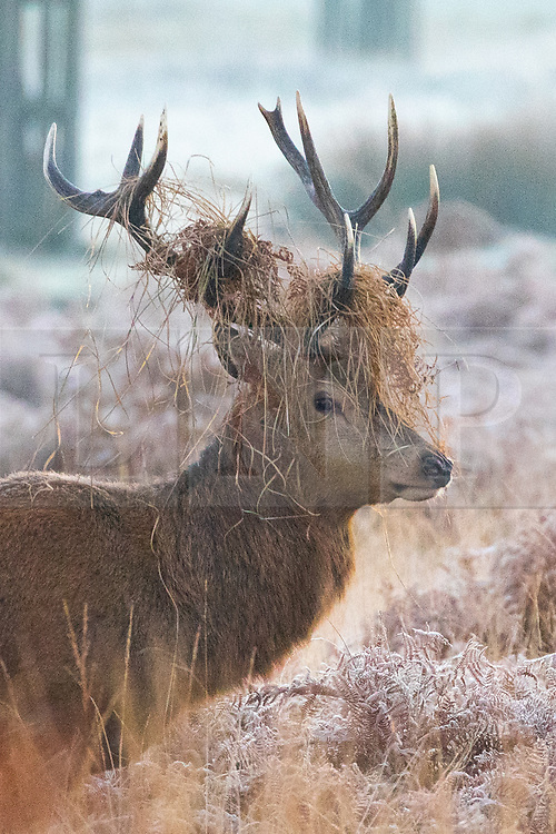 © Licensed to London News Pictures. 02/12/2019. London, UK. A deer in the frost, at sunrise in Richmond Park, London, as temperatures dropped to below zero degrees Celsius last night in the capital. Photo credit : Tom Nicholson/LNP