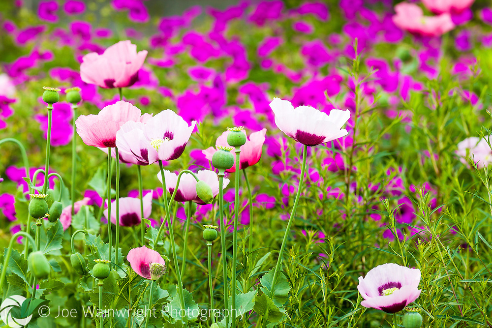 A sea of geraniums leads to pretty pink poppies in an English garden.