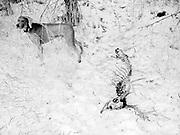 Sugar next to dead dear bones in the snow