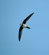 Alpine Swifts Apus melba, which winter in Africa and breed in southern Europe, turn up in small numbers in spring, carried here on strong southerly winds.