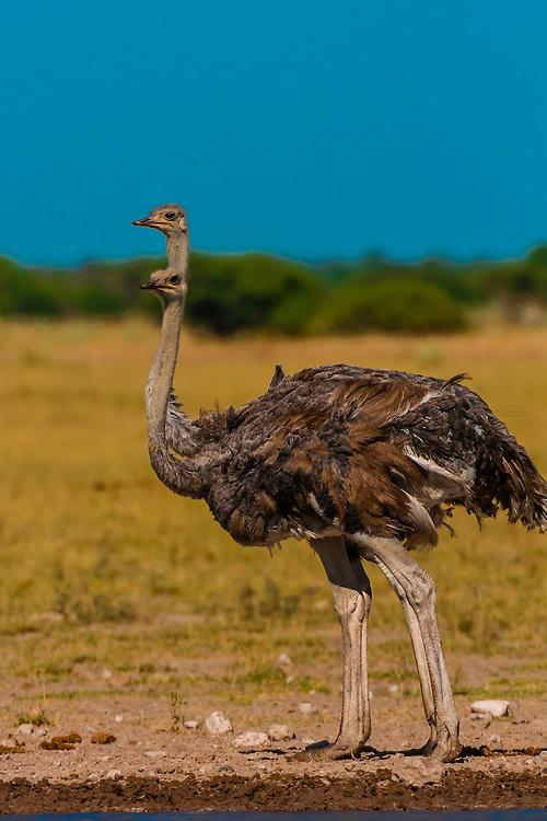 Female ostriches, Nxai Pan National Park, Botswana.