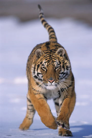 Tiger, (Panthera tigris) Running. Captive Animal.