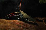 jungle prawn, Macrobrachium lar freshwater crustacean, Kuranda, Queensland Australia