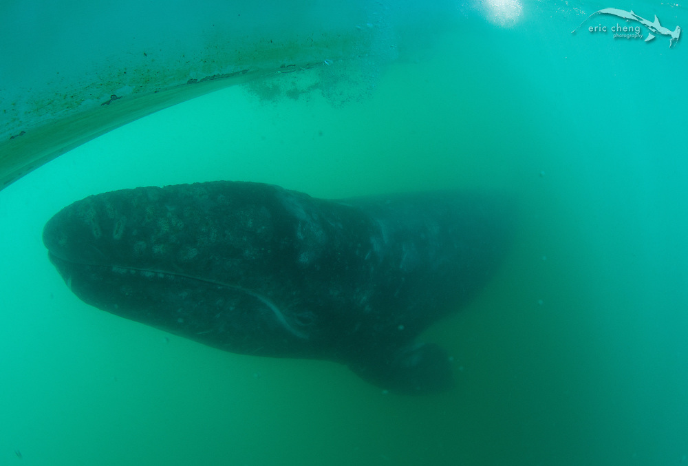 A baby gray whale (Eschrichtius robustus), under our boat. Laguna San Ignacio, Baja California, Mexico