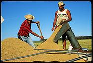 Man shovels rice as it pours into truck during harvest at Granja Bretanhas, Rio Grande Sul Brazil