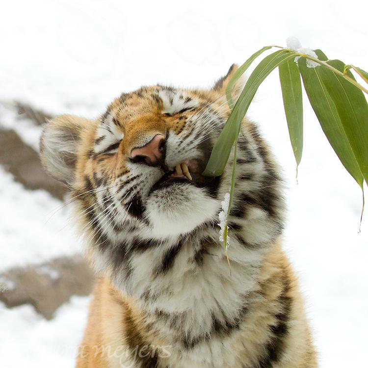 Amur Tiger Cub Eating Bamboo