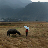 A farmer walks his water buffalo through fields of rapeseed that are drying outside the town of Heshun, Yunnan province, China.