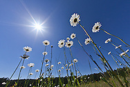 Low angle view of daisies and sun, Macon, Georgia