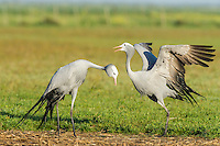 Blue Crane pair partaking in their pair bonding display dance, Overberg, Western Cape, South Africa