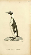 cape Sphenisque from the 1825 volume (Aves) of 'General Zoology or Systematic Natural History' by British naturalist George Shaw (1751-1813). Shaw wrote the text (in English and Latin). He was a medical doctor, a Fellow of the Royal Society, co-founder of the Linnean Society and a zoologist at the British Museum. Engraved by Mrs. Griffith