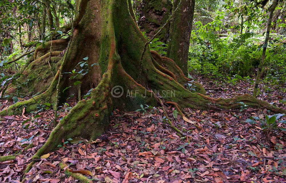 The trunk  and roots of a large tree in Bwindi Impenetrable National Park, Uganda.