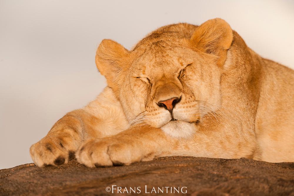 Young lion, Panthera leo, Serengeti National Park, Tanzania
