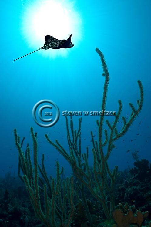Spotted Eagle Ray, Aetobatus narinari, (Euphrasen, 1790), Andes Wall, Grand Cayman