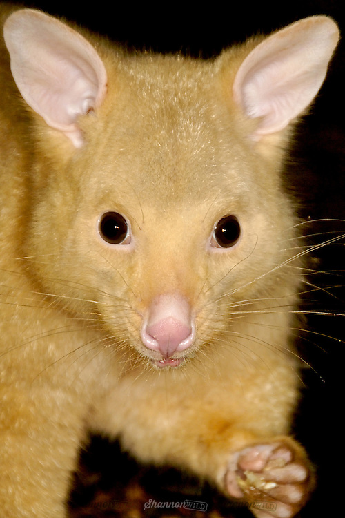 Common Brushtail Possum (Trichosurus vulpecula). This male is a naturally occuring rare Golden colour, they usually range from brown to grey.  A nocturnal marsupial native to Australia.