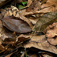 Although cryptically disguised as a dead leaf when at rest, the Peacock Katydid (Pterochroza ocellata) packs a big surprise for its secondary defense. When disturbed, it raises its wings to expose strikingly colored eyespots, which can be enough to startle a potential predator away. This large katydid exhibits a great deal of intraspecific variation such that the wings patterns and camouflage of no two individuals are ever the same, and entomologists at one time had described over a dozen species that are now attributed to P. ocellata. These variations in coloration help to prevent any predator from learning a search pattern to recognize this species and its defense. Yasuní National Park, Ecuador.
