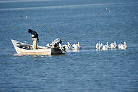 American White Pelicans (Pelecanus erythrorhynchos) swimming beside fishing boat Lake Chapala, Jalisco, Mexico
