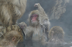 One snow monkey grooms under another's arm while bathing in a hot spring in Japan.