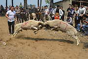 ANYANG, CHINA - APRIL 25: (CHINA OUT) <br /> <br /> Villagers watch two sheep fighting during the temple fair in Hua County on April 25, 2016 in Anyang, Henan Province of China. About 150 sheep most of which were small-tail han sheep joined the goat-fighting match during the traditional temple fair in Hua County.<br /> ©Exclusivepix Media