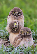 Burrowing Owls in Habitat