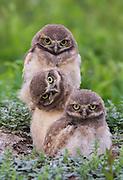 Burrowing Owls in Habitat