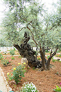 Israel, Jerusalem, Old Olive trees in the garden of Gethsemane, in the grounds of the Basilica of the Agony - Church of all Nations. There are 8 ancient olive trees in the garden held by tradition to have witnessed Jesus' prayer and suffering