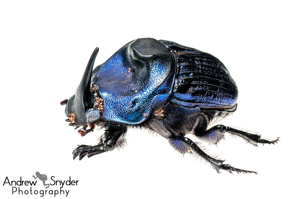 Giant amazon scarab beetle (Coprophanaeus lancifer) with phoretic mites - Iwokrama, Guyana.