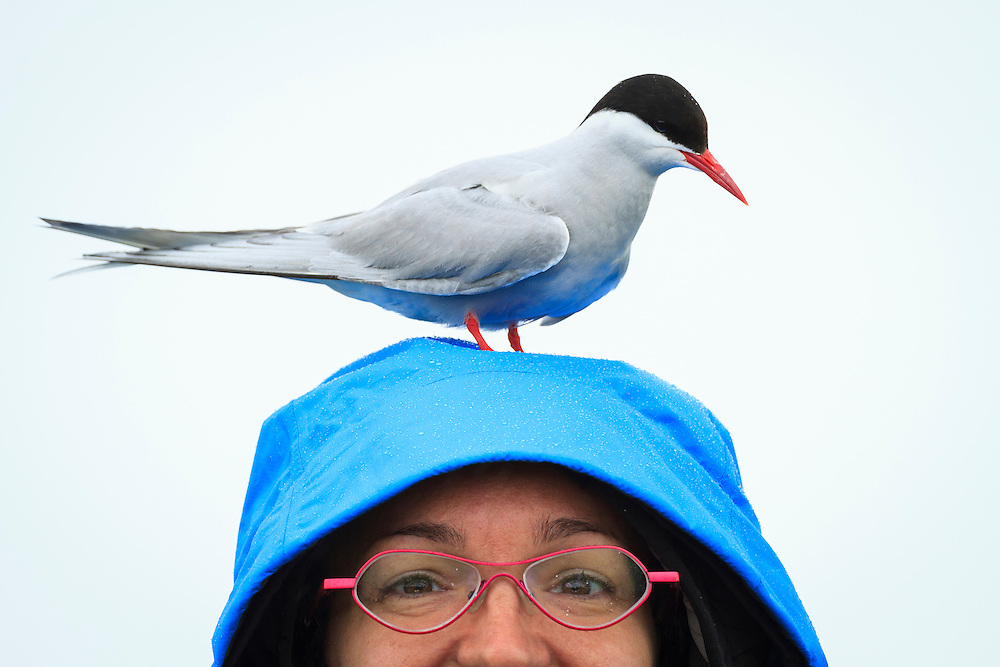Arctic Tern (Sterna paradisaea) standing on Mireia Barabino head. Farne islands. Northumberland. UK.