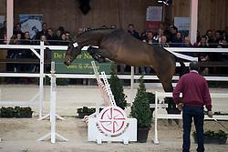 052 - O Neill van t Eigenlo <br /> Vrijspringen 2<br /> Hengsten keuring BWP - Koningshooikt 2017<br /> © Dirk Caremans<br /> 27/12/2016