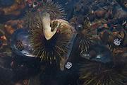Sea Urchin Underwater off Lower Negro Island, Castine, Maine, US