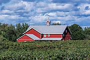 Vineyard and barn, North East, Pennsylvania, USA.