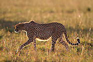 Latest of Africa - Maasai Mara in 2011