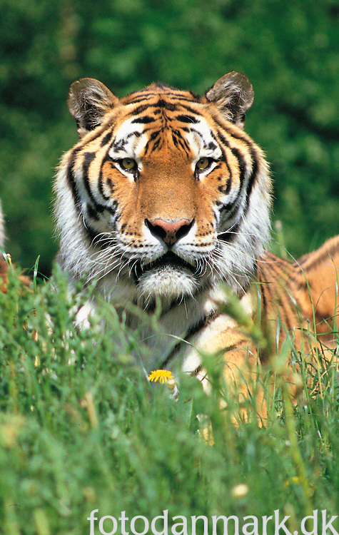 Siberian tiger in Knuthenborg